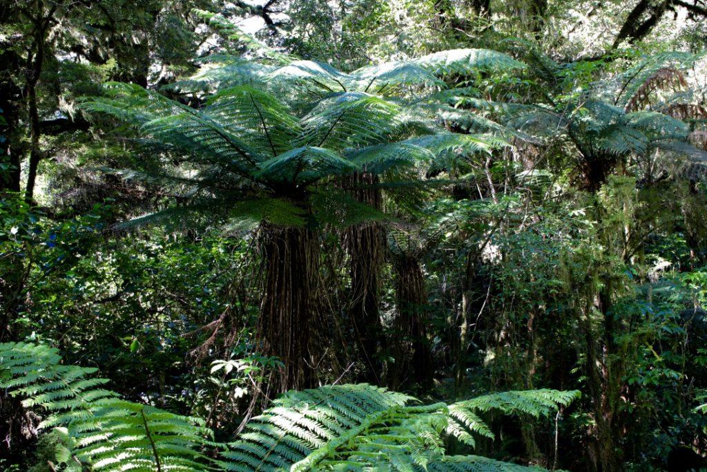 Farn-Dschungel